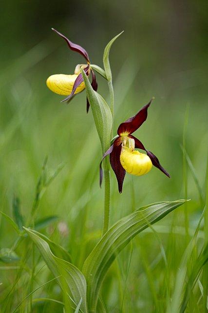 frauenschuh orchidee stefan hradetzky naturfotografie. Black Bedroom Furniture Sets. Home Design Ideas