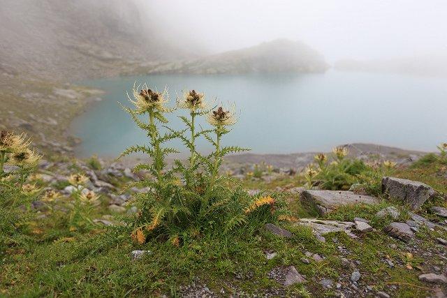 Alpenkratzdisteln am Bergsee